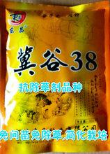 谷子品种冀谷38(懒谷7号)简化栽培免间苗免除草,抗除草剂图片