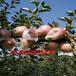 山东红玉苹果批发价格