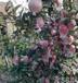 蘋果在我國的主要產地么且山東哪里蘋果最便宜