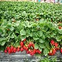 章姬草莓苗批发草莓苗大棚种植开始起苗图片