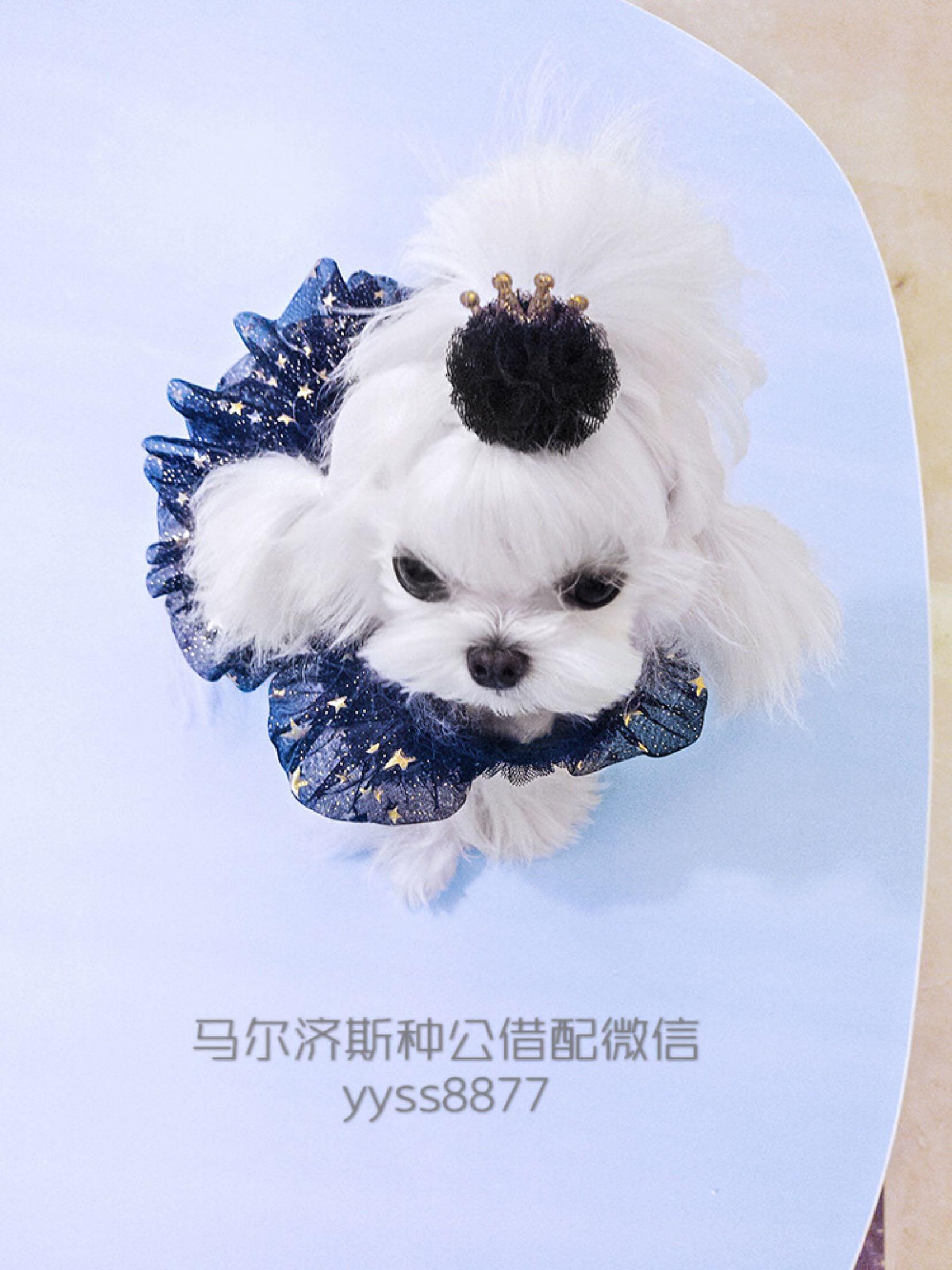 韩国白色马尔济斯幼犬出售带证书出售,种公借配
