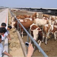 忻州肉牛养殖合作社欢迎您图片