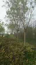 国槐树干长包是什么虫害图片