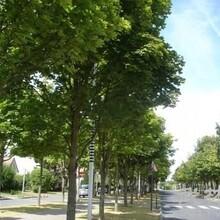 保定35公分國槐樹多少錢一顆圖片