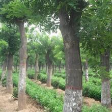 唐山20公分國槐樹生產基地圖片