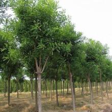 忻州國槐樹一顆多少錢、圖片
