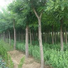 鄭州40公分國槐樹最新價格圖片