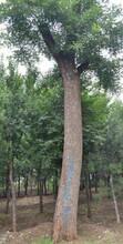 邯鄲30公分國槐樹生產基地圖片