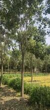 起運苗木供應大葉女貞,新疆10公分大葉女貞圖片