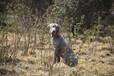 威玛犬出售魏玛犬适合家养高端伴侣犬性格温顺魏玛犬