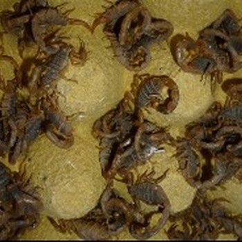 广西蝎子倍投法基地免费倍投法技术培训,优质蝎子种苗供应