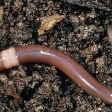 廣西黑蚯蚓養殖基地大量供應活蚯蚓,大黑蚯蚓種苗圖片