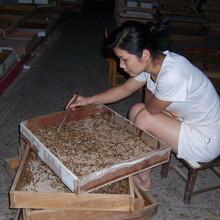 广西蛋白虫大麦虫多少钱一斤图片