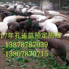 广西南宁横县(凤凰)蓝孔雀养殖场图片