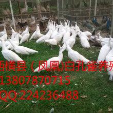 广西孔雀养殖场、广西孔雀苗、广西孔雀养殖、广西孔雀、孔雀价格图片