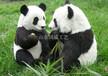 電動仿真大熊貓模型四川大熊貓仿真標本