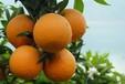 供應?夏橙產地直銷