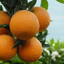 供应秭归夏橙脐橙图片