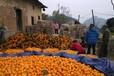 大量臍橙出售