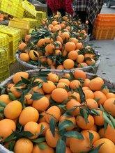 秭归甜橙图片