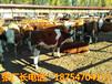 牛犊价格牛犊的价格小牛犊价格肉牛牛犊价格