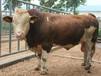 小黄牛养殖¥黄牛多少钱一头¥小黄牛价格
