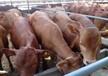 新疆小牛犊多少钱一头¥¥牛犊多少钱一头