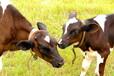 肉牛西门塔尔牛多少钱一头¥肉牛品种西门塔尔牛