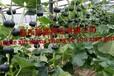 黑丽贝贝南瓜种子