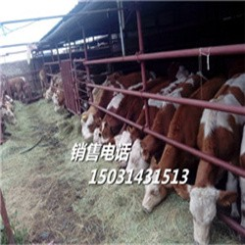 饲养肉牛犊-珠海利木赞肉牛犊-肉牛价格