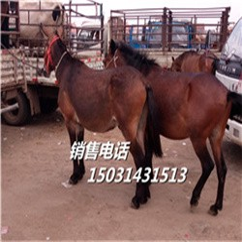 小牛犊-馆陶杂交小牛崽-肉牛犊价格