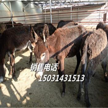 饲养肉牛犊-象山改良西门塔尔牛犊-活牛市场