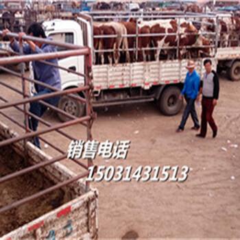 小牛犊-宁波大三角头小牛牛-活牛市场