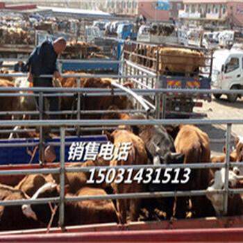 育肥肉牛犊-广元改良饲养肉牛犊-肉牛犊报价