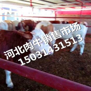 阜阳市肉牛犊价格-品种肉牛犊