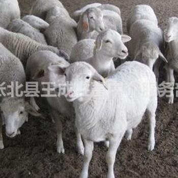 活羊价格肉羊价格肉羊养殖