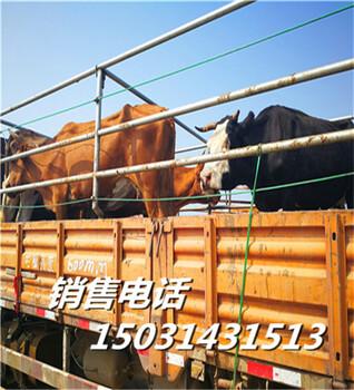 河北黄牛市场零售市场红花肉牛犊红花肉牛犊