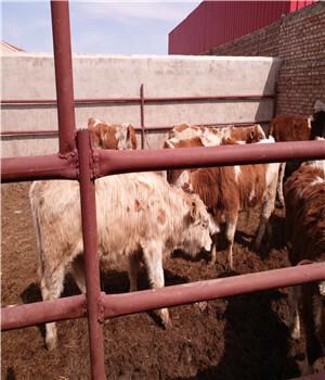 小牛苗价格、牛崽多少钱一头、黄牛崽价格-养殖