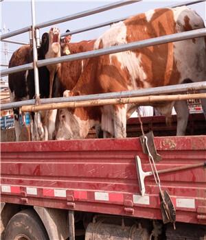 西门塔尔价格_买西门塔尔牛_西门塔尔牛犊价格_肉牛犊