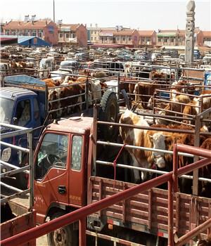 广西肉牛市场直销西门塔尔肉牛养殖