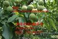 冠核三号核桃苗,亩产1000-1200斤,抗病性强