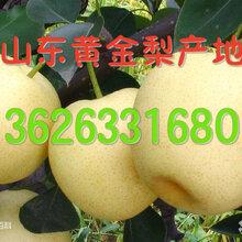 山東黃金梨基地紙袋黃金梨產地收購價格圖片