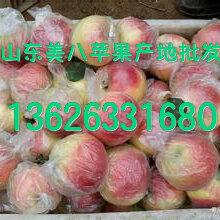 山東美八蘋果基地分布在哪里美八蘋果產地實時價格報價圖片