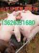 全国仔猪价格行情山东仔猪今日价格行情图片