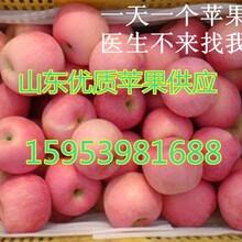 供应山东红富士苹果价格
