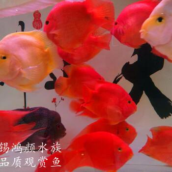无锡观赏鱼出售元宝发财鱼