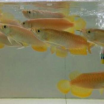 常州观赏鱼出售大型发财鱼金龙鱼