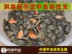 河洲甲鱼纯野生甲鱼价格优质甲鱼苗中华鳖苗价格洞庭湖甲鱼苗甲鱼行情