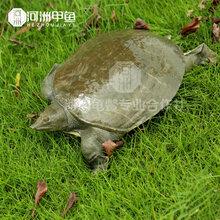 湖南甲魚批發合作商河洲甲魚圖片