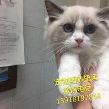 波兰布偶猫回国清关猫猫从香港入境免隔离猫猫怎样回国图片